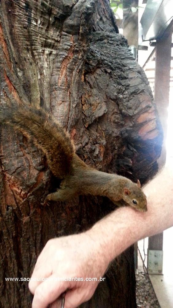 esquilo manso